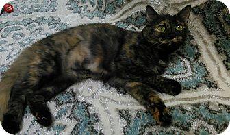 Domestic Mediumhair Cat for adoption in Brandon, Florida - Venus