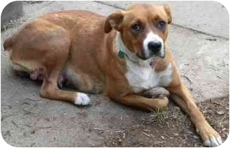 Boxer basenji mix dog for adoption in burbank california penny