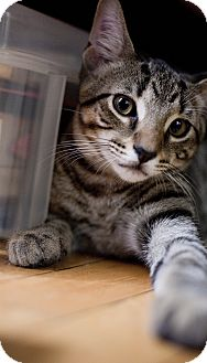 Domestic Shorthair Kitten for adoption in Chicago, Illinois - Petie