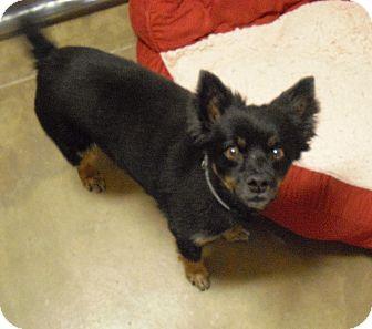 Pomeranian Mix Dog for adoption in Wickenburg, Arizona - Zek
