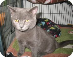 Domestic Shorthair Kitten for adoption in Shelton, Washington - Ula