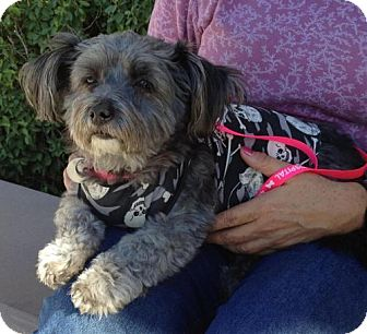 Yorkie, Yorkshire Terrier/Poodle (Miniature) Mix Dog for adoption in Phoenix, Arizona - Elvis