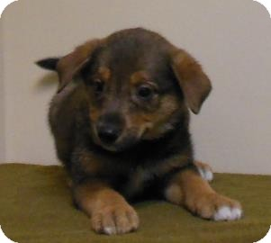 Collie/German Shepherd Dog Mix Puppy for adoption in Gary, Indiana - Sean