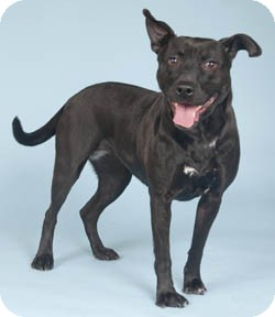 Labrador Retriever/Pit Bull Terrier Mix Dog for adoption in Chicago, Illinois - Isabelle