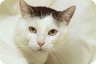 Domestic Shorthair Cat for adoption in Marietta, Georgia - Polar