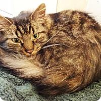 Adopt A Pet :: Chamomile - N. Billerica, MA
