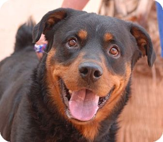 Rottweiler Mix Dog for adoption in Las Vegas, Nevada - Nero
