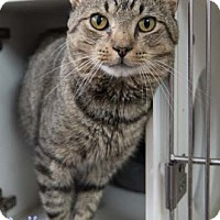 Adopt A Pet :: Bronco - Merrifield, VA