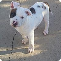 Adopt A Pet :: The States Litter - Jersey - Bellflower, CA