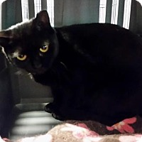 Adopt A Pet :: Slinky Black - Windsor, CT