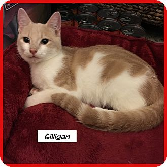 Domestic Shorthair Cat for adoption in Miami, Florida - Gilligan