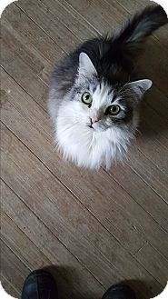 Maine Coon Cat for adoption in Monroe, Connecticut - Lola