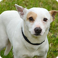 Chihuahua Mix Dog for adoption in Woodbury, New Jersey - Ricky