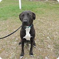 Adopt A Pet :: Stewie - Acushnet, MA