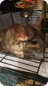 Chinchilla for adoption in Patchogue, New York - Lily