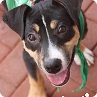 Adopt A Pet :: Kevin - Washington, DC