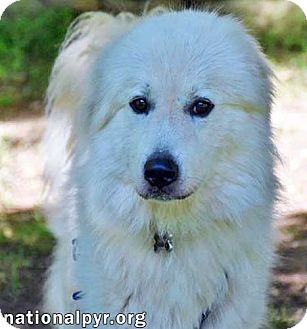 Great Pyrenees Dog for adoption in Beacon, New York - Waylon in CT - pending