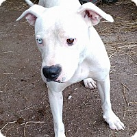 American Pit Bull Terrier Mix Dog for adoption in Macomb, Illinois - Mystic