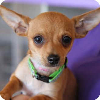 Chihuahua Mix Puppy for adoption in Pacific Grove, California - Fred
