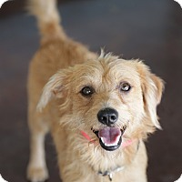 Terrier (Unknown Type, Small) Mix Dog for adoption in San Antonio, Texas - Rusty