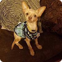 Adopt A Pet :: Bronson - Fenton, MO