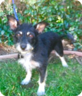 Terrier (Unknown Type, Small)/Schnauzer (Miniature) Mix Dog for adoption in Santa Monica, California - LULU