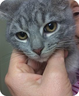 Domestic Shorthair Kitten for adoption in Devon, Pennsylvania - Kenny