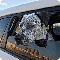 Adopt A Pet :: Olivia - Dallas, TX