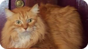Ragdoll Cat for adoption in Ennis, Texas - Leo