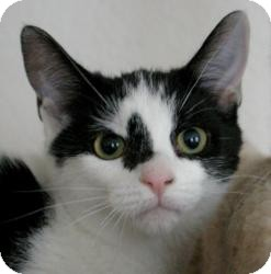 Domestic Shorthair Cat for adoption in Sacramento, California - Ella