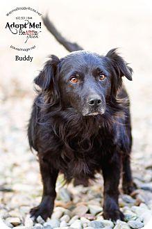 Spaniel (Unknown Type)/Pekingese Mix Dog for adoption in Phoenix, Arizona - Buddy