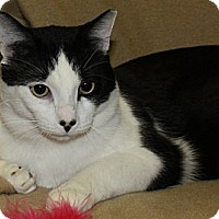 Domestic Shorthair Cat for adoption in Rochester, New York - Fizzles