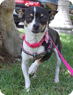 Rat Terrier/Chihuahua Mix Dog for adoption in Los Angeles, California - Pia
