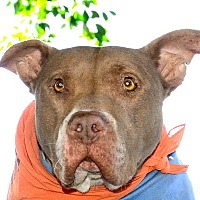 Pit Bull Terrier Mix Dog for adoption in Santa Monica, California - Sinatra