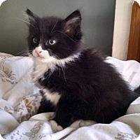 Adopt A Pet :: Hy - Brooklyn, NY