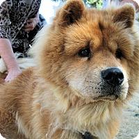 Adopt A Pet :: Bear - Salem, OR