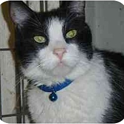 Photo 2 - Domestic Shorthair Cat for adoption in Pasadena, California - Boom Boom