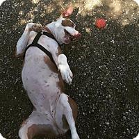 Adopt A Pet :: Pretzel - Chico, CA