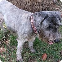 Adopt A Pet :: BELLA-Adoption Pending - Cincinnati, OH