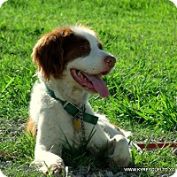 Spaniel (Unknown Type) Mix Dog for adoption in PRINCETON, Kentucky - Joey