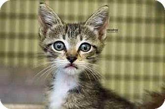 Domestic Shorthair Cat for adoption in Acworth, Georgia - Maisey