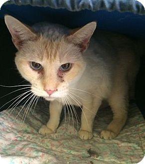 Siamese Cat for adoption in Lunenburg, Massachusetts - Frosty
