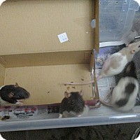 Adopt A Pet :: 4 GIRLS (adopted in prs or 4) - Philadelphia, PA