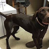German Shorthaired Pointer/Labrador Retriever Mix Dog for adoption in Sparta, New Jersey - Mystique