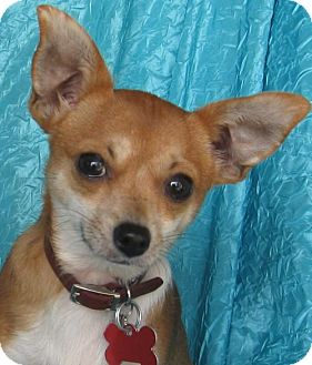 Chihuahua Mix Dog for adoption in Cuba, New York - Bitsy Clarksville