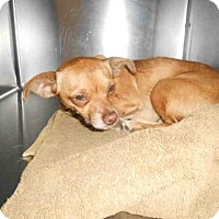 Chihuahua Dog for adoption in Long Beach, California - *SALLY