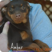 Adopt A Pet :: Amber - Yreka, CA