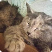 Domestic Mediumhair Kitten for adoption in Minneapolis, Minnesota - Sylvia Rayne