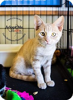 Domestic Shorthair Kitten for adoption in Mooresville, North Carolina - A..  Abby