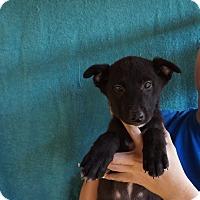 Adopt A Pet :: Ophelia - Oviedo, FL